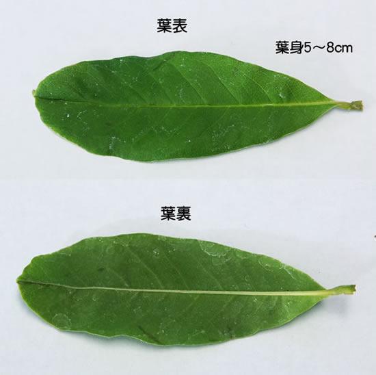ヒメコブシ 葉 ヒメコブシトップへ ミニ盆栽 ヒメコブシ 葉