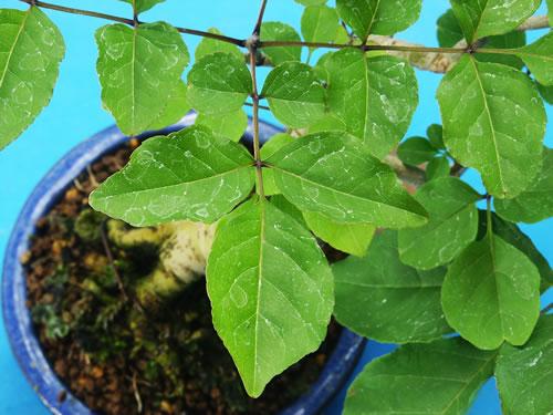 マルバアオダモ葉 マルバアオダモトップへ ミニ盆栽 マルバアオダモ 葉
